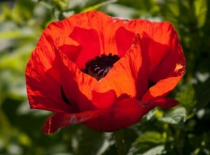 red poppy MIA_400x296